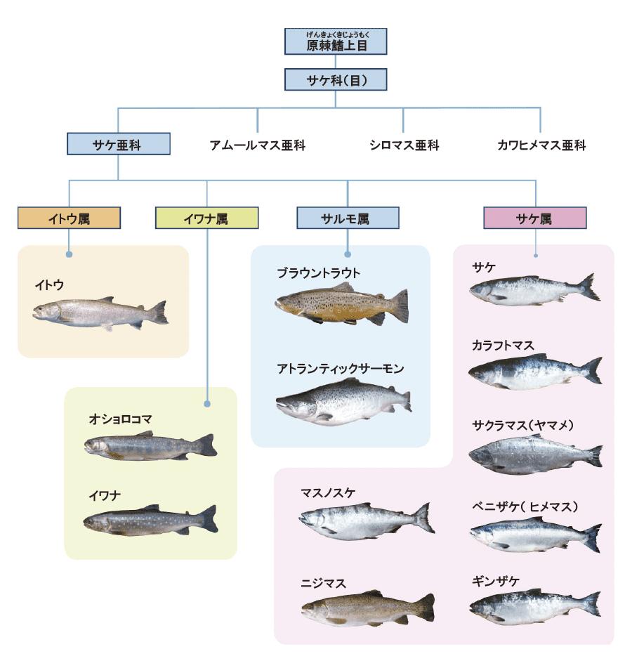 魚へんに尊の漢字「鱒」の読み方や由来は?